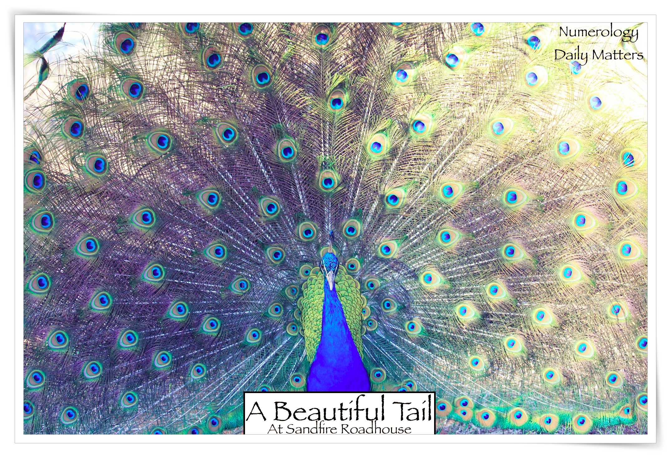peacock a beautiful tail .png